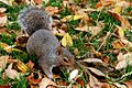 Eastern gray squirrel 2.jpg