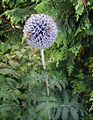 Echinops-ritro.JPG