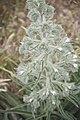 Echium italicum-3425.jpg