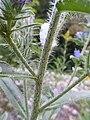 Echium vulgare Paludi 03.jpg
