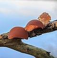 Echt judasoor (Auricularia auricula-judae, synoniem, Hirneola auricula-judae). Locatie, Natuurterrein De Famberhorst 02.jpg