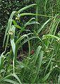Eendagsbloem planten (Tradescantia virginiana).jpg