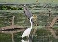 Egret and Heron at Port Louisa (20850879130).jpg