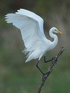 Intermediate egret Species of bird