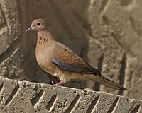 Egyptian Laughing Dove (Streptopelia senegalensis aegyptiaca) - Flickr - Lip Kee.jpg