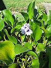 Eichhornia azurea6