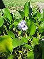 Eichhornia azurea6.jpg