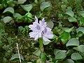 Eichhornia crasipes - panoramio.jpg