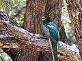 Elegant Trogon (male) Upper Huachuca Canyon Sierra Vista AZ 2018-08-05 11-44-18 (29075726017).jpg