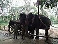 Elephant from Bannerghatta National Park 8668.JPG