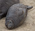 Elephant seals at Ano Nuevo (91569).jpg