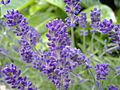 English Lavender.JPG
