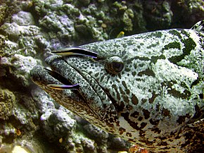 Description de l'image Epinephelus_tukula_is_cleaned_by_two_Labroides_dimidiatus.jpg.