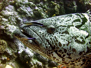 A Potato Cod (Epinephelus tukula) is cleaned b...