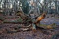 Epping Forest High Beach Waltham Abbey Essex England - fallen tree.jpg