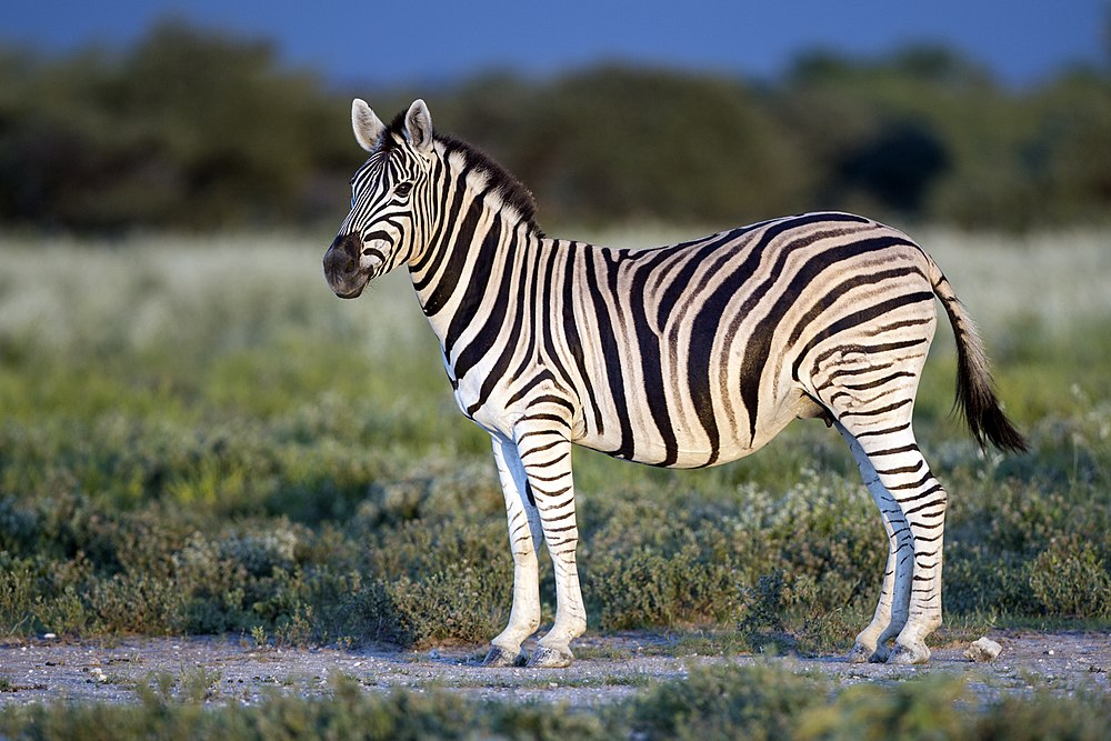 The average litter size of a Burchell's zebra is 1