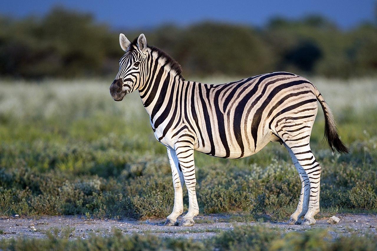 1280px-Equus_quagga_burchellii_-_Etosha%2C_2014.jpg