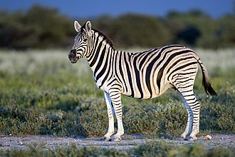Plains zebra - Burchell's zebra (Equus quagga burchellii) at Etosha National Park, Namibia