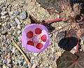 Eremalche rotundifolia 7.jpg