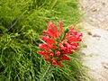 Erica abietna subsp. abietna (1).jpg