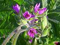 Erodium moschatum Inflorescencia 2011-4-01 CampodeCalatrava.jpg