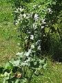 Eryngium giganteum 2 RF.jpg