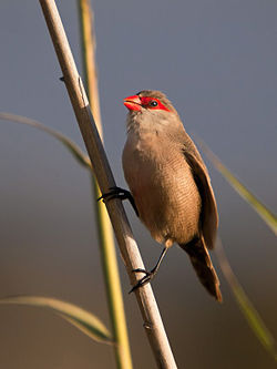 Estrilda astrild -Gran Canaria, Canary Islands, Spain-8.jpg