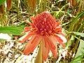 Etlingera elatior (Zingiberaceae).jpg