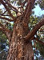 Eucalyptus microcorys - upper branch bark.jpg