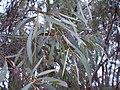 Eucalyptus polybractea leaf.JPG