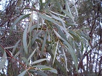 Eucalyptus polybractea - Eucalyptus polybractea leaf, West Wyalong.