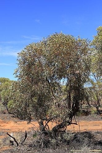 Eucalyptus socialis - Eucalyptus socialis habit