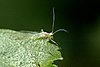 The European birch aphid (Euceraphis punctipennis) on a leaf