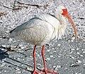 Eudocimus albus (American white ibis) (Sanibel Island, Florida, USA) 7.jpg