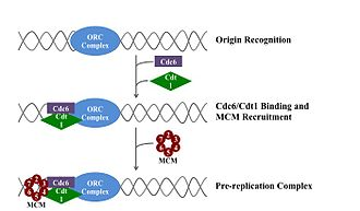 DNA replication - Formation of pre-replication complex.