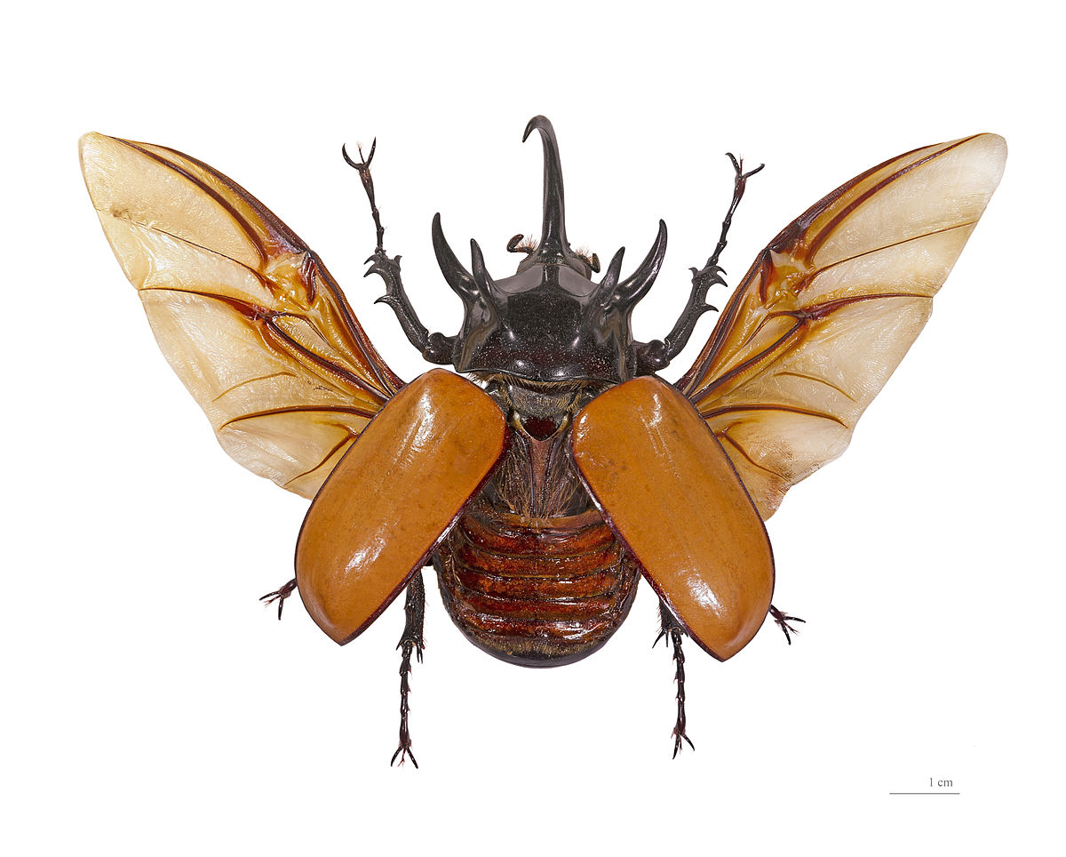 Eupatorus gracilicornis - Wikipedia