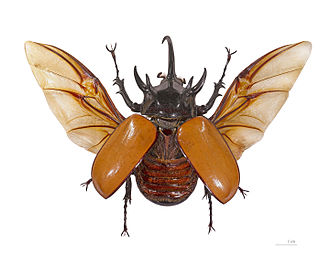Dynastinae - Eupatorus gracilicornis (Dynastini)