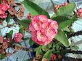 Euphorbia milii (5).JPG