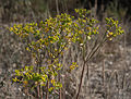 Euphorbia segetalis, Sète, Hérault 01.jpg