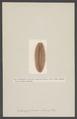 Euphrosyne foliosa - - Print - Iconographia Zoologica - Special Collections University of Amsterdam - UBAINV0274 007 01 0005.tif