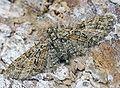 Eupithecia abbreviata01.jpg