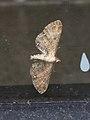 Eupithecia simpliciata (36588925986).jpg