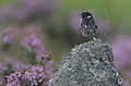 European Stonechat (Saxicola rubicola) in the rain..jpg