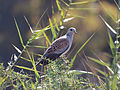 European turtle dove.JPG