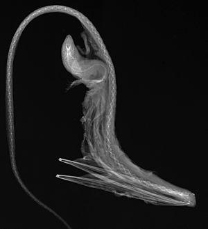 Pelican eel - Image: Eurypharynx pelecanoides X ray (cropped)