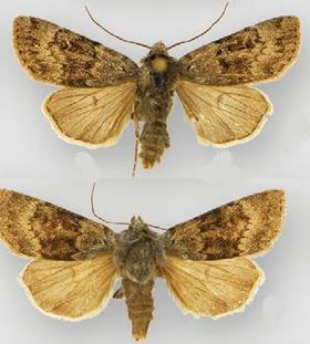 Euxoa apopsis male (top) female (bottom).JPG