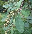 Exochorda racemosa fruits 02.jpg
