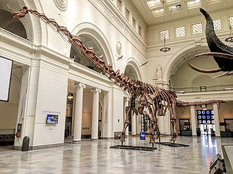 Titanosauria - Mounted Patagotitan on display at the Field Museum of Natural History, Chicago, IL