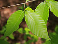 Fagus grandifolia beech leaves close.jpg