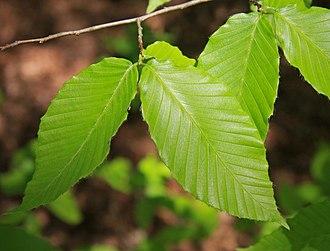Fagus grandifolia - Image: Fagus grandifolia beech leaves close